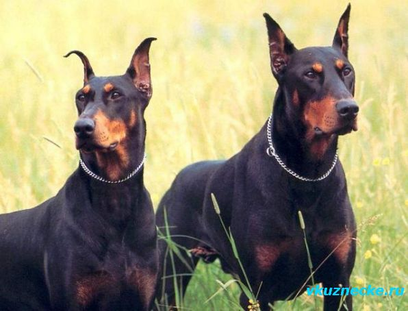 Doberman-Pinschers.jpg